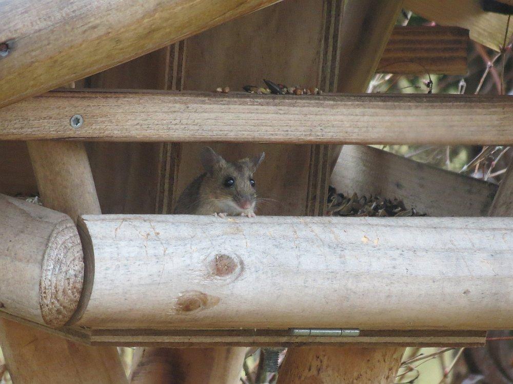 Feldmaus im Vogelhaus