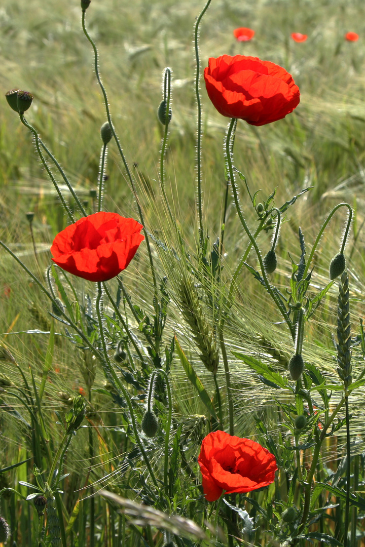 Feldmohn Blüten