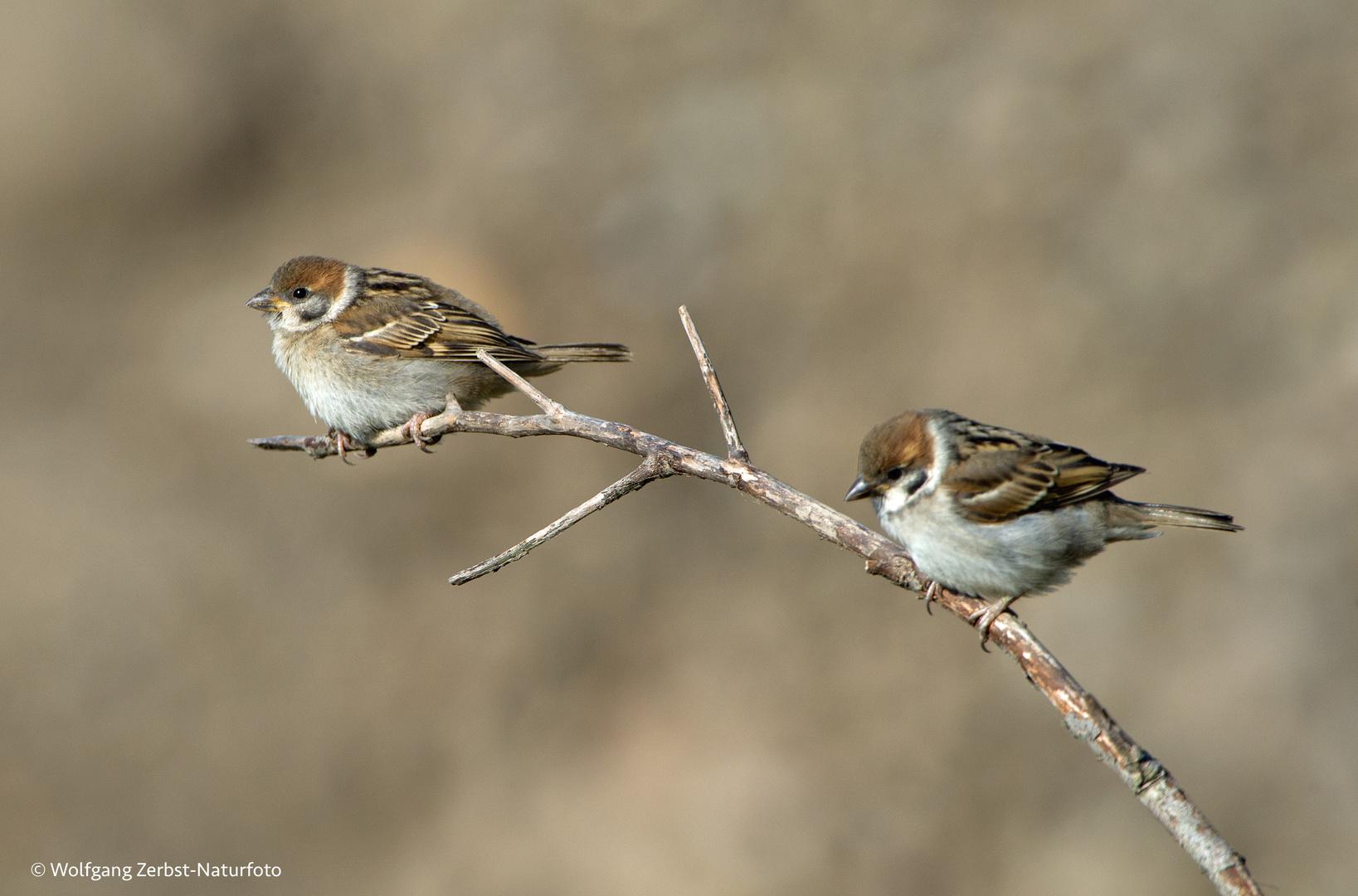 --- Feldsperlinge ---  ( Passer montanus )