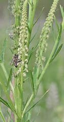 Feldweg Biene - immer seltener sehe ich sie,