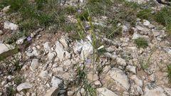 Feldweg- Orchidee