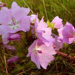 Feldwiesen – Blüher: Moschus-Malve