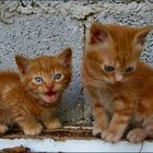 Feline twins