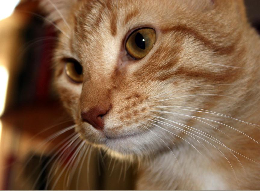 Felis Catus Domesticus
