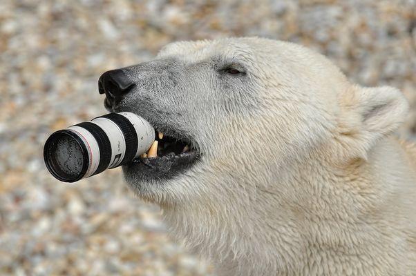 Eisbär Fotos Bilder Auf Fotocommunity
