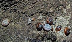 Felsen-Pyramidenschnecken, höchstens 2.5 mm breit. - Des escargots presque pas visibles à l'oeil nu.