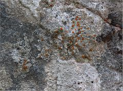 Felsen-Triebflechte (Protoblastenia rupestris)