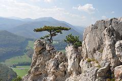 Felsenbäumchen