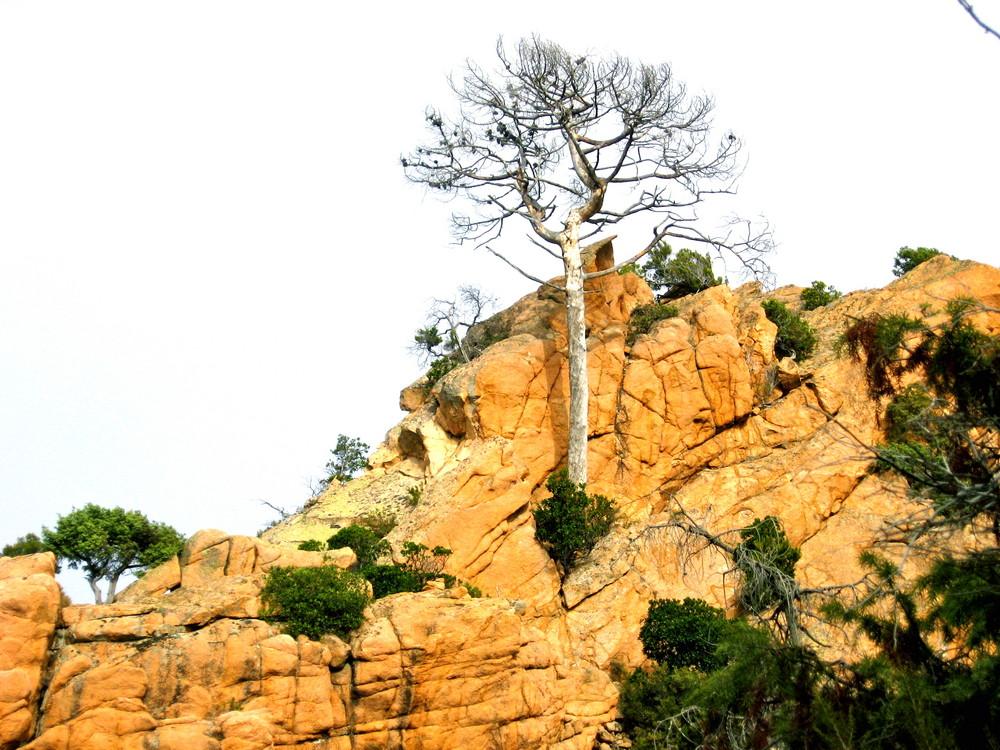 Felsenbaum Korsika