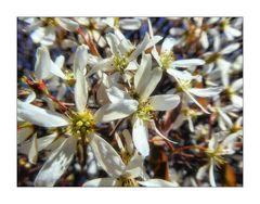 Felsenbirne Blütenmakro