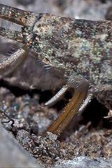 Felsenspringer (Machilidae) bei der Eiablage. - Un machilide sur un rocher alpin.