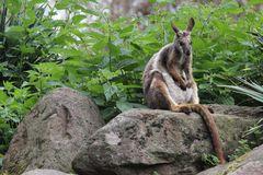Felskänguru (Petrogale xanthopus), Parc Zoologique & Botanique de Muhlhouse
