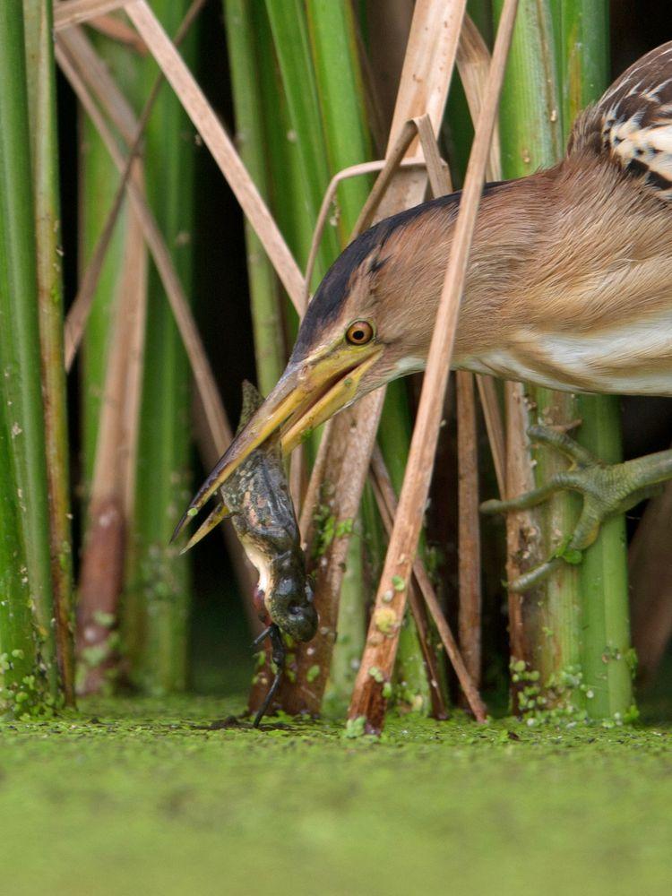 female little bittern and tadpole