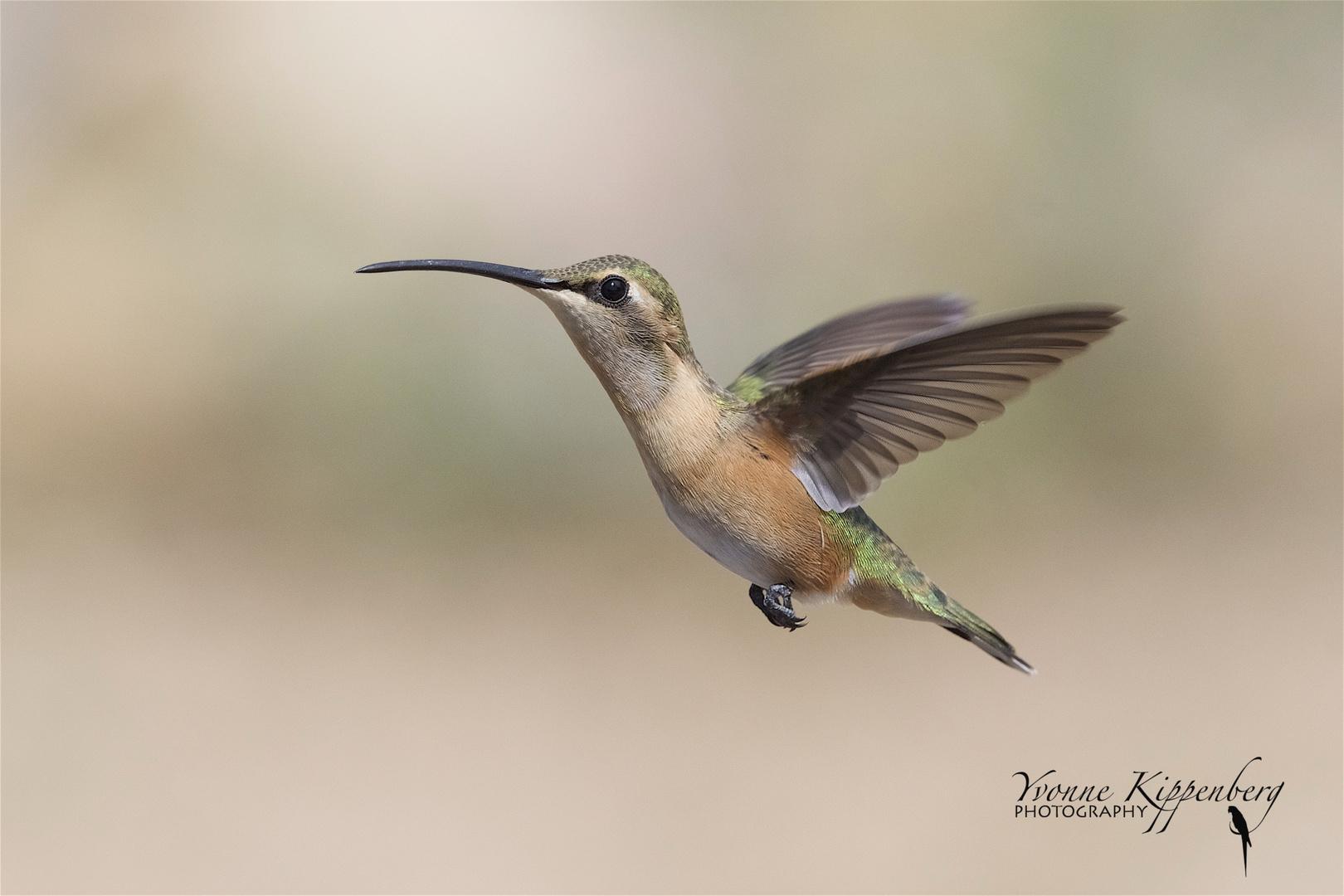 Female Lucifer Hummingbird !