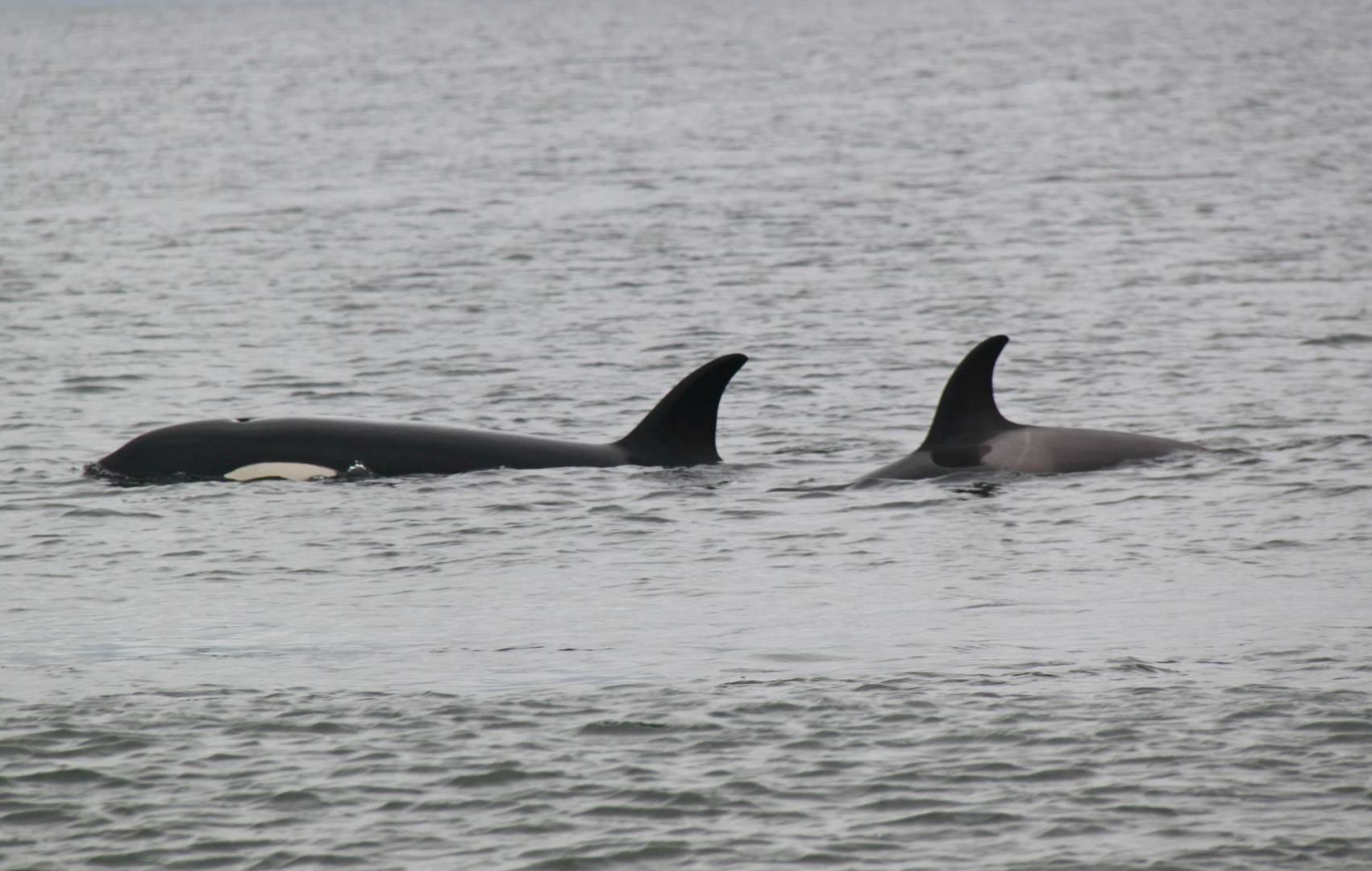 Female Orca and young