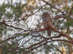 Female ural owl (Habichtskauz)