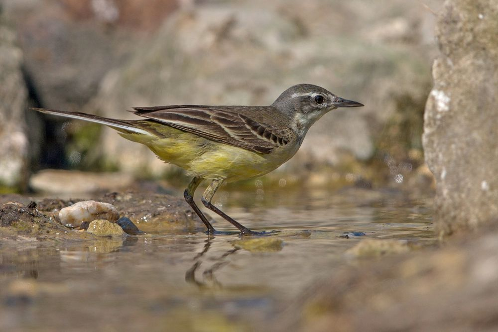 Female yellow wagtail