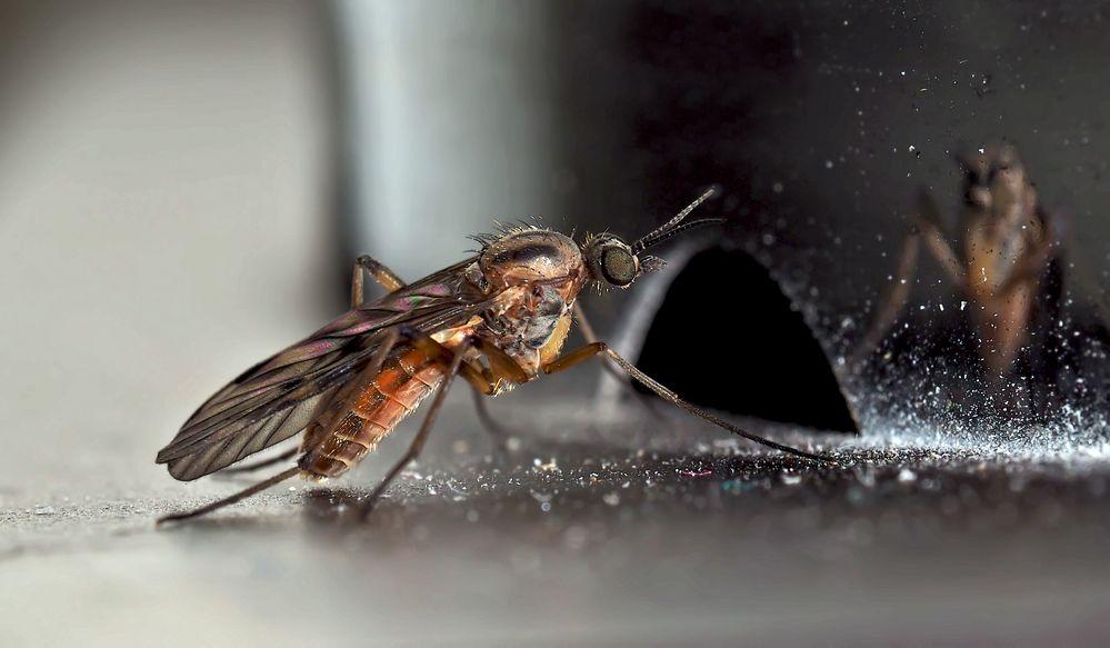 Fenstermücke (Sylvicola fuscatus): eine Fliege!  - Un moucheron des bois.