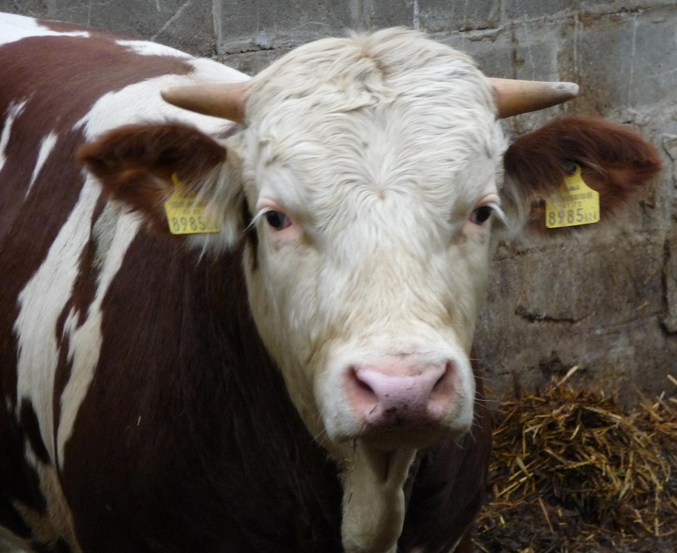 Ferdinand The Bull?
