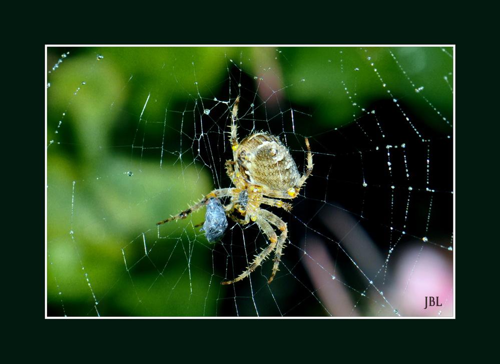 Festin d'araignée ...