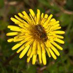 Festín de polen