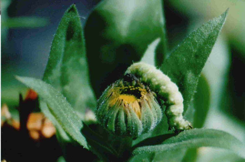 fette grüne Raupe