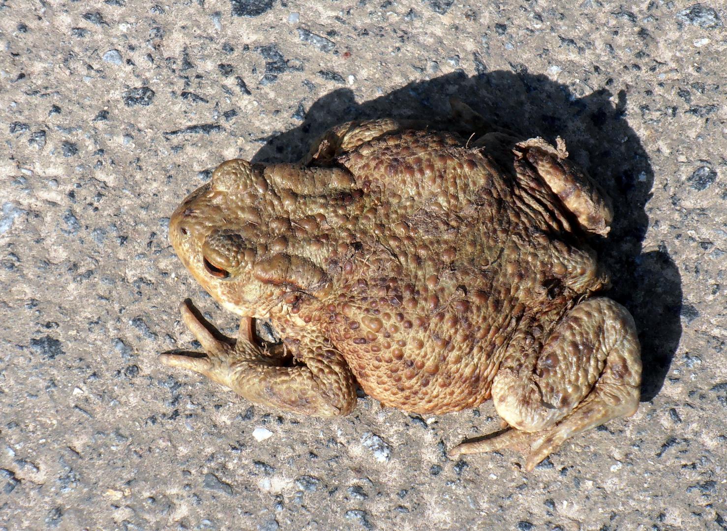 Fette Kröte  mußte über die Straße