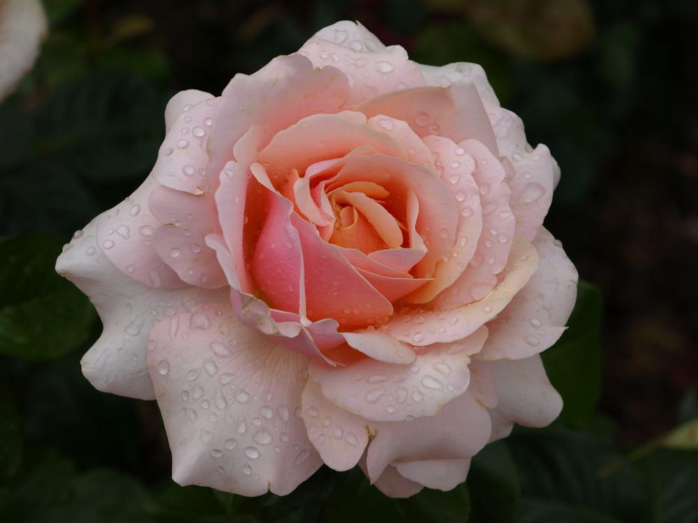 Feuchte Rose (JJ)