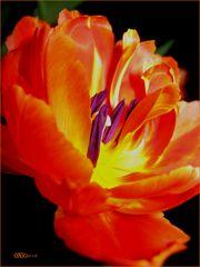 """...""""Feuer"""" in der Mitte einer Tulpe"""