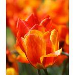 Feuer Tulpen