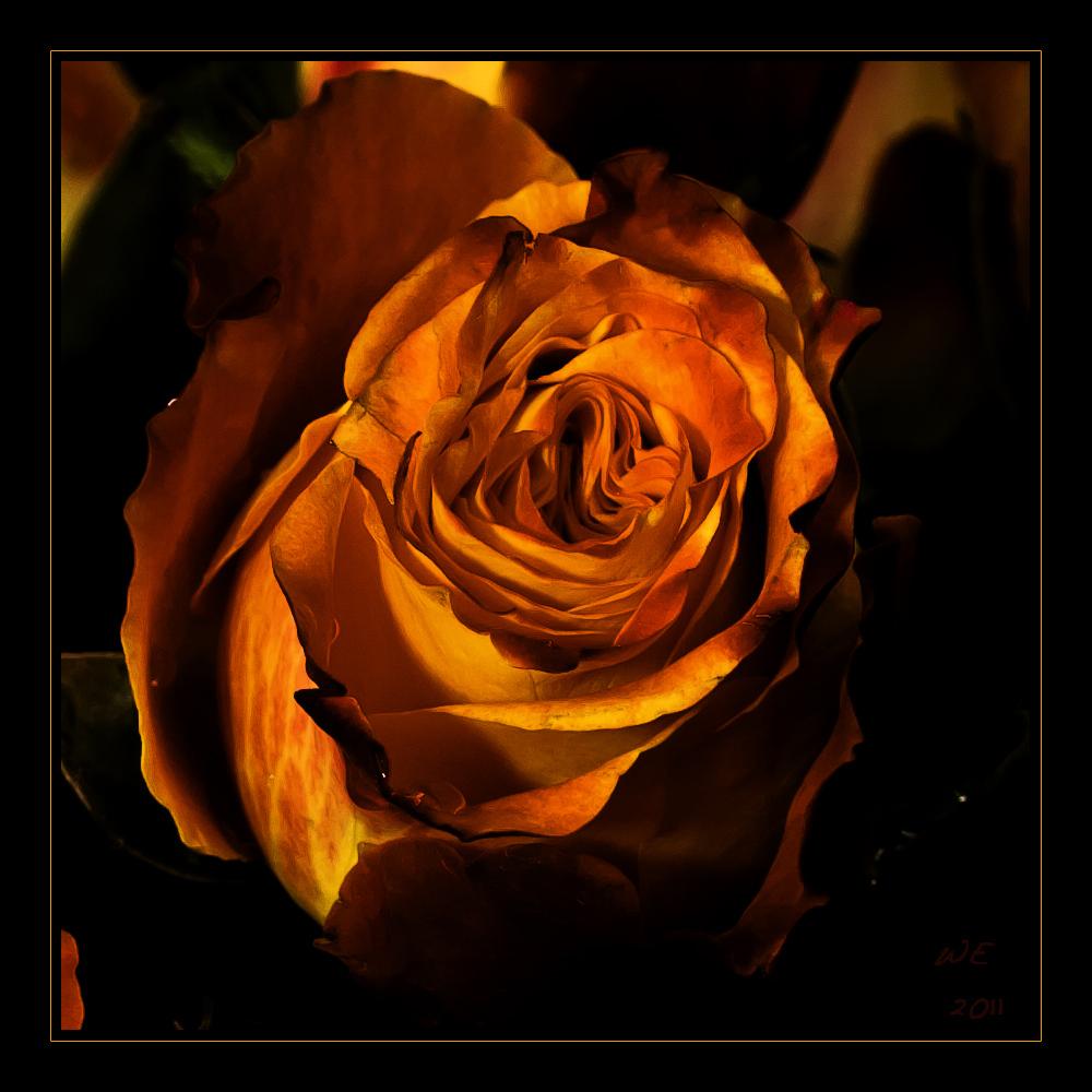 feuer und flamme foto bild pflanzen pilze flechten bl ten kleinpflanzen rosen. Black Bedroom Furniture Sets. Home Design Ideas