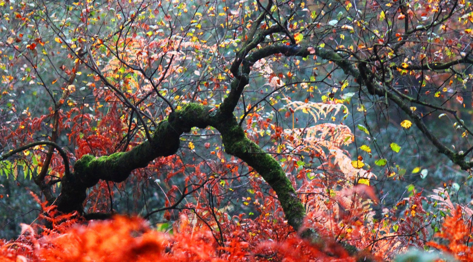 Feuerbäume