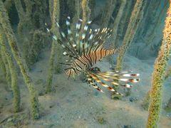 Feuerfisch in den Mangroven