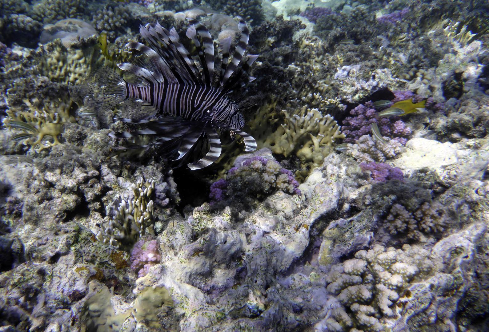 Feuerfisch in Marsa Alam