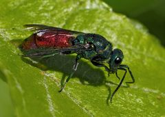 Feuergoldwespe (Chrysis ignita) - Guêpe coucou ou chryside enflammée.