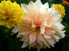 Feuerige Chrysanthemen