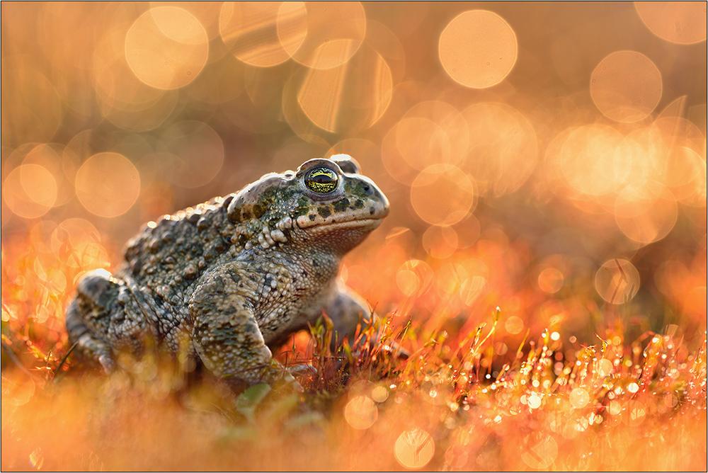 Feuerkröte