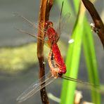 ... Feuerlibelle (Crocothemis erythraea) ...