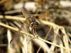 Feuerlibelle (Crocothemis erythraea), älteres Weibchen