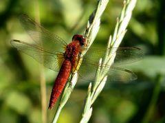 Feuerlibelle (Crocothemis erythraea), androchromes, männchenfarbenes Weibchen