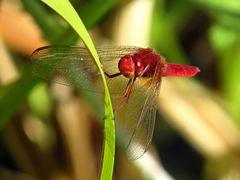 Feuerlibelle (Crocothemis erythraea), Männchen