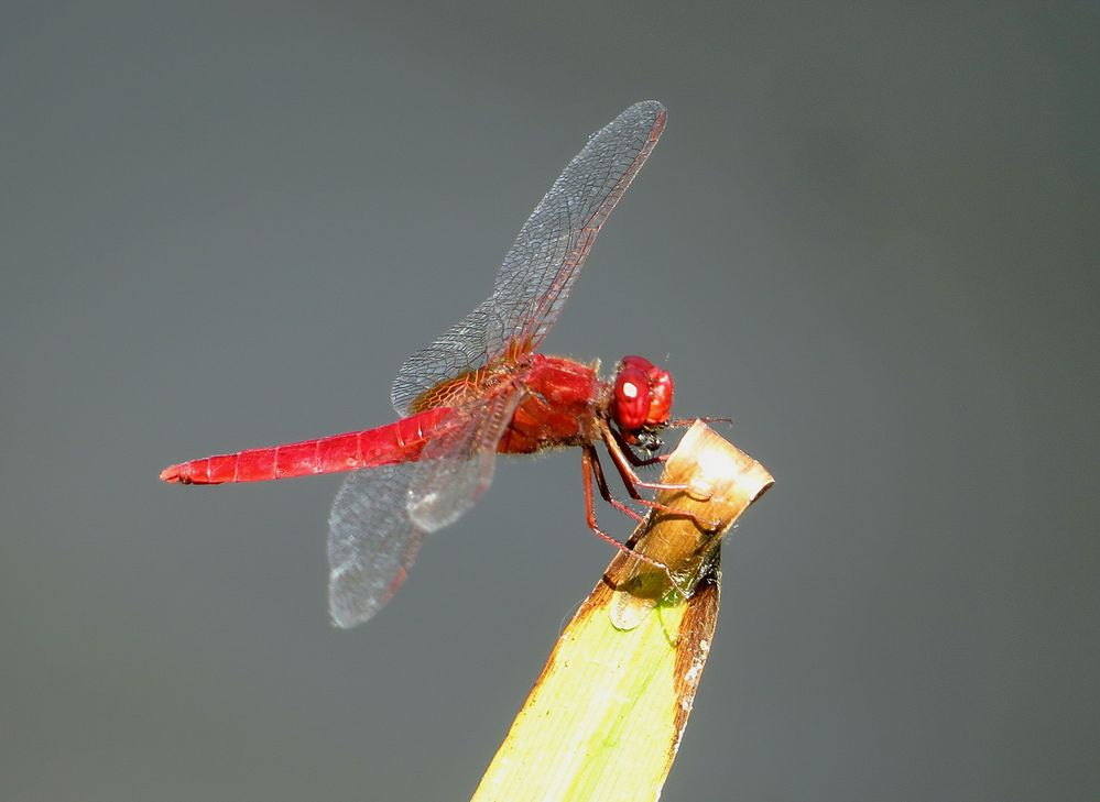 Feuerlibelle (Crocothemis erythraea), Männchen beim Fressen
