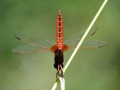 """Feuerlibelle (Crocothemis erythraea). Männchen mit der """"Obelisk"""" - Stellung bei extremer Hitze"""