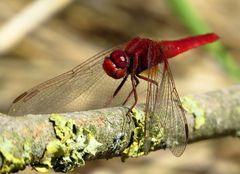 Feuerlibelle (Crocothemis erythraea), Männchen mit Durchblick...