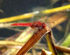 Feuerlibelle (Crocothemis erythraea), Männchen nach der Paarung