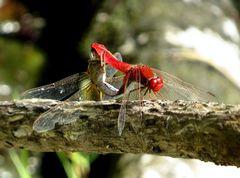 Feuerlibelle (Crocothemis erythraea), Paarungsrad mit älterem Weibchen