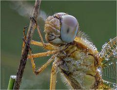 feuerlibelle (crocothemis erythraea)  w .....