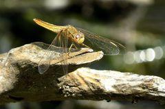 Feuerlibelle (Crocothemis erythraea), Weibchen