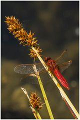 Feuerlibelle(Crocothemis erythraea)