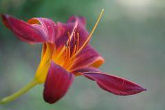 Feuerlilie